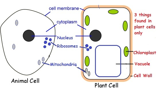 What are the two cell structures/organelles that you would ...