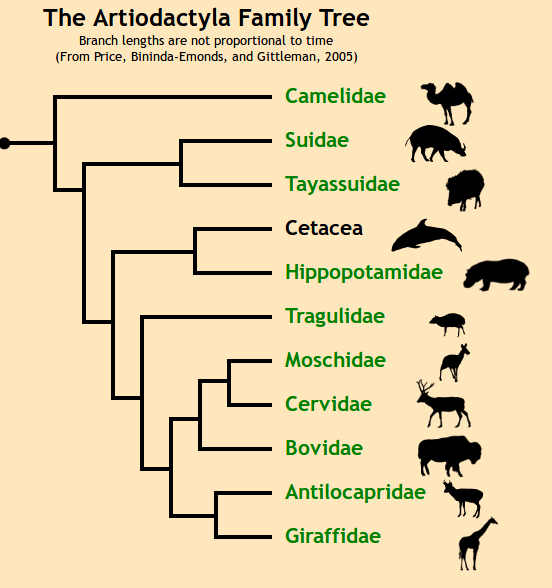 Horse evolution tree