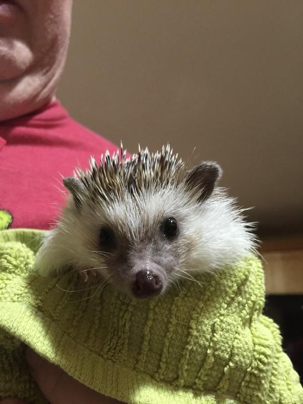 Mouth tumor hedgehog Hedgehog Illnesses
