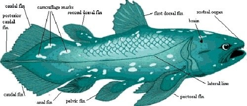 the characteristics of coelacanth a family of bony fishes Start studying biology chapter 18 learn vocabulary  ray-finned fish coelacanths and lungfish cartilaginous fishes and bony fishes also arose 1.