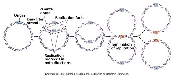 How do bacteria create the crisprs corresponding to base sequences replication forks dont move at the same speed there are a number of factors like dna damage or complicated structured sequences that can slow a fork ccuart Choice Image