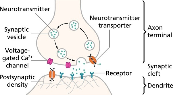 What is synapse how does a message impulse transmit through a the axon terminal is responsible for secreting neurotransmitters from neuron a which then travels across the synapse and into neuron bs receptors which is ccuart Image collections