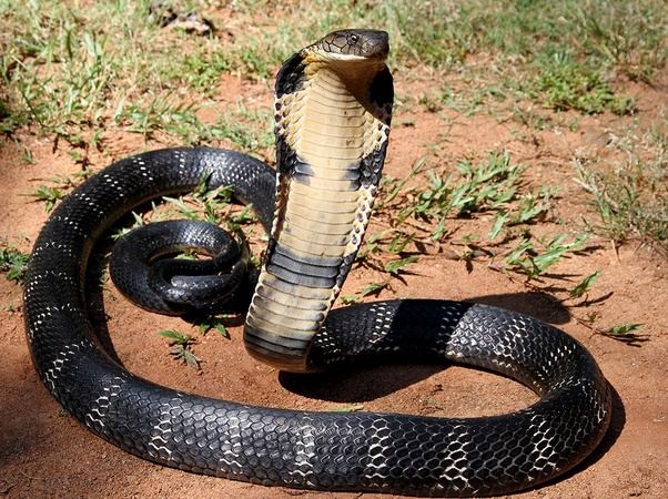 How Are King Cobras Able To Eat Black Mambas When Black Mambas Are