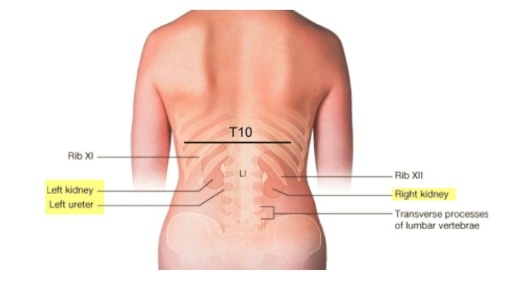 Where Are The Kidneys Situated In The Body Quora