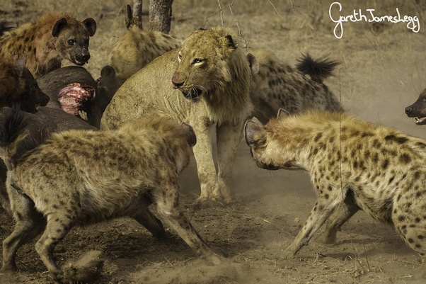 What can kill a lion? - Quora