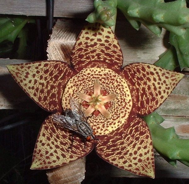 What are some pretty things that smell funny quora heres a photo of a carrion flower with a house fly on it mightylinksfo