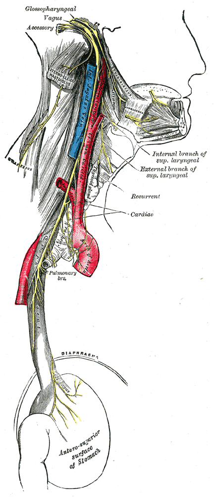 What would happen if we cut the vagus nerve quora ccuart Gallery