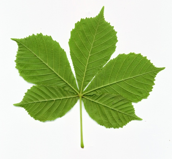 What is a name of compound leaf trees? - Quora