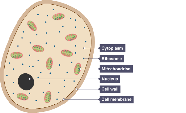 plant cell plant cell diagram labeled how many cells make up fungi? - quora