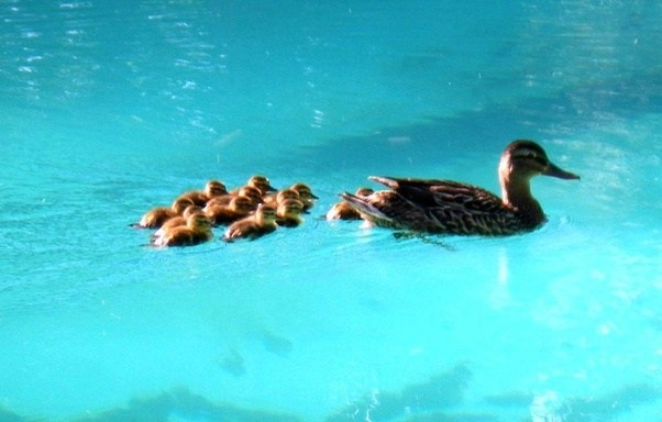 Can ducks swim in chlorine water quora - How do i keep ducks out of my swimming pool ...
