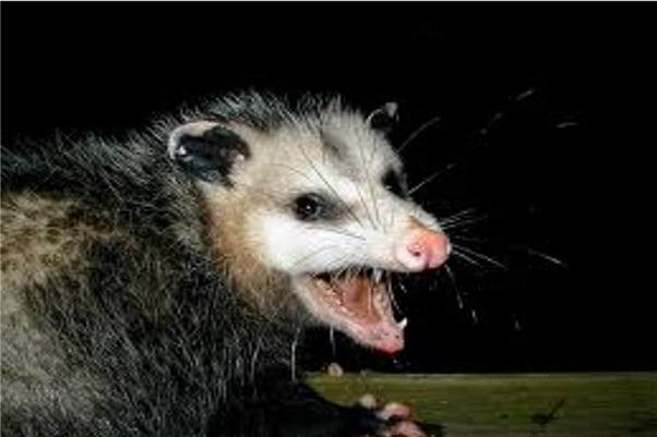 However, opossums, along with their 50 teeth, aren't nearly as ferocious as  they can appear. - Do I Need To Get Rid Of Opossums From My Backyard? - Quora
