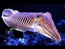 what is the difference between squid and cuttlefish? - quora
