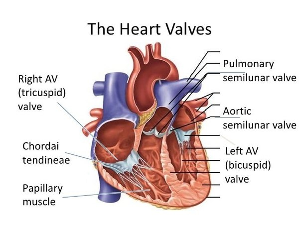 What is the semilunar valve? What functions does it have? - Quora