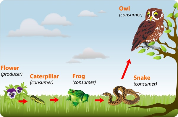 What Is The Difference Between Food Chain And Food Web Quora
