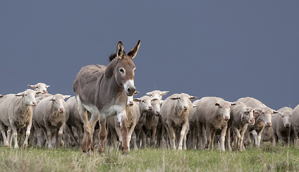 A donkey together with a herd of cattle.