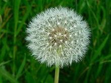 What is the name of the blow flowers you make a wish on and how did what is the name of the blow flowers you make a wish on and how did such a practice become popular mightylinksfo
