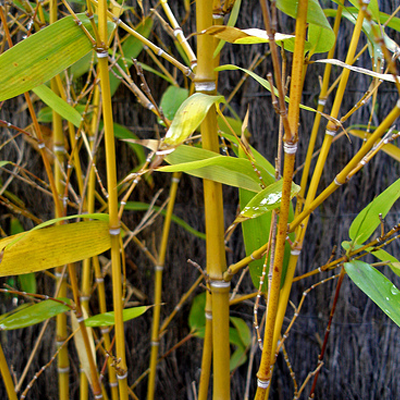 What Is The Best Variety Of Clumping Bamboo For Privacy In