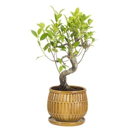 Another Variety Of Ficus Is Ginseng This One The Most Commonly Sold Bonsai Tree Available Usually In 200 Gms 300 500