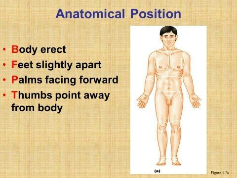 What Is Meant By Correct Anatomical Position Quora