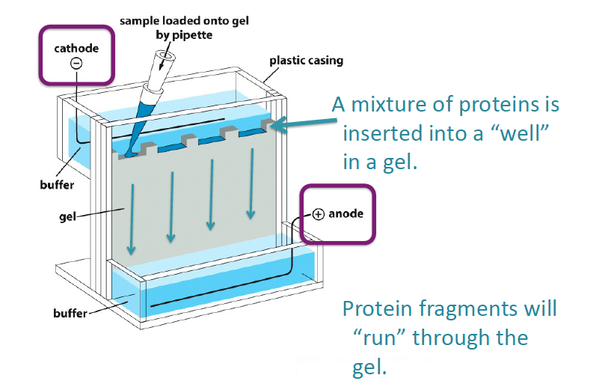 what is the use of gel electrophoresis quora rh quora com gel electrophoresis block diagram 2d gel electrophoresis diagram