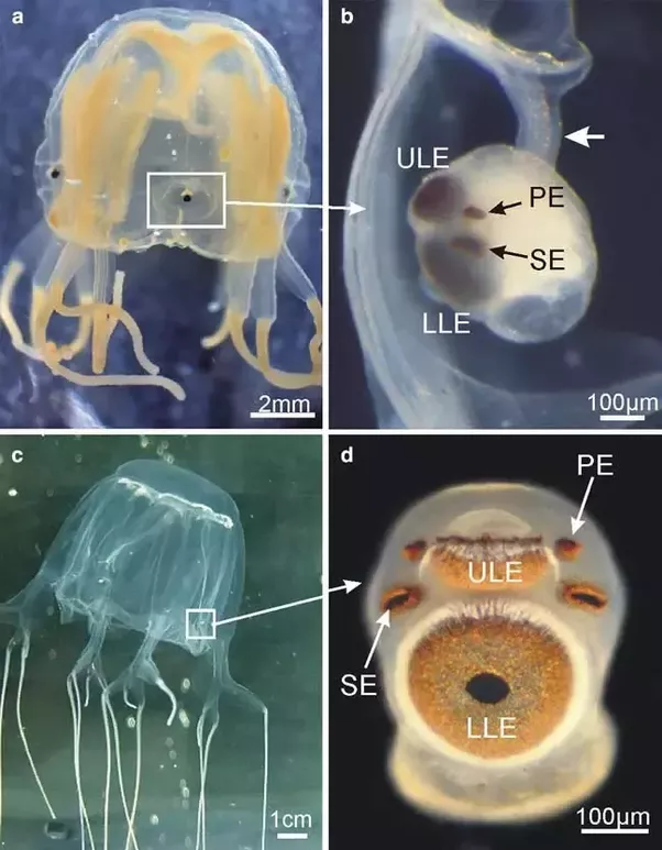 Do jellyfish have eyes? - Quora - photo#10