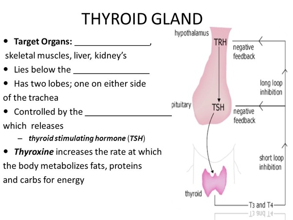 What Does The Thyroid Gland Do Quora