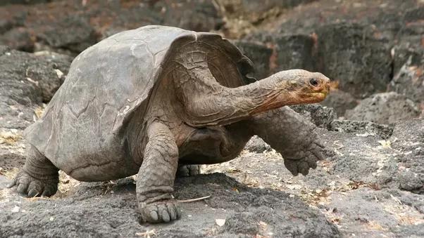 Can Tortoises Swim Quora