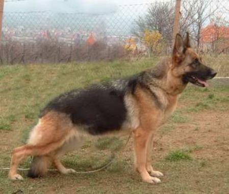 If two German Shepherd dogs are black and tan/red, what are