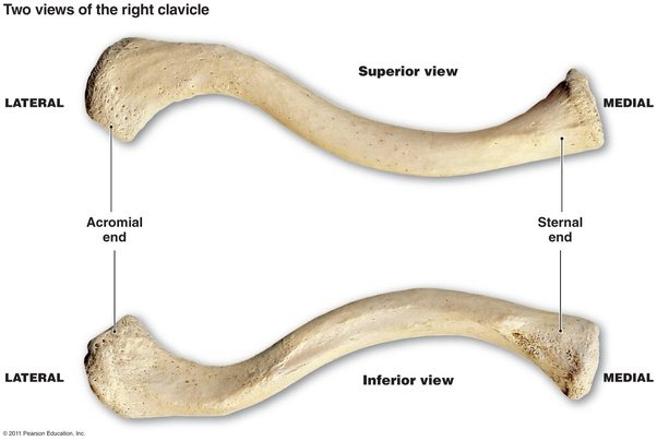 what is the difference between the left and right clavicle ... clavicle bones diagram upper extremity bones diagram