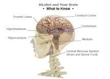 How does teenage drinking affect brain development quora hippocampus ccuart Choice Image