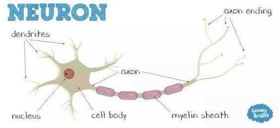 What are the different types of nerve cells quora neurons are excitable which means they function by using electrical stimulation through this electrical message known as an action potential ccuart Images