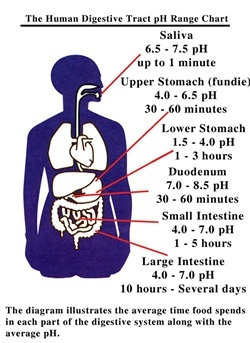 What Are The Ph Of Different Organs Quora