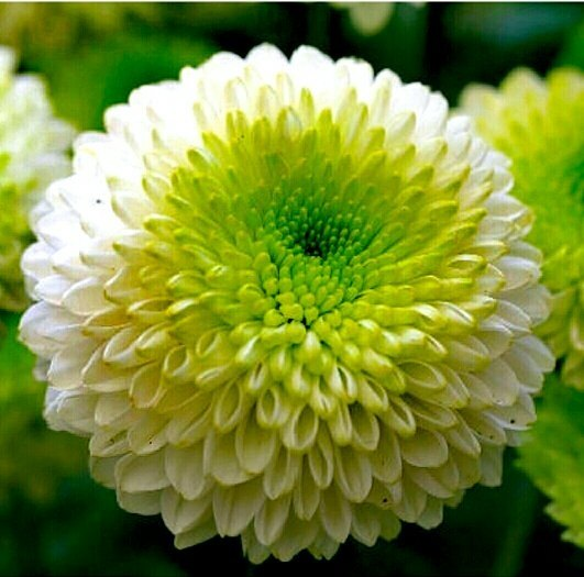 What are the benefits of the chrysanthemum flower quora chrysanthemum flower mightylinksfo