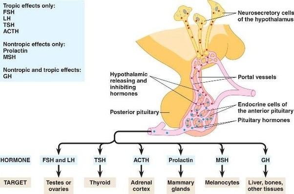 Hypothyroidism and low testosterone in men
