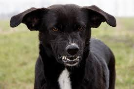 what does it mean when a dog shows its teeth? - quora