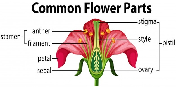 Pistil: -female parts of the flower, consisting of the stigma and the style.