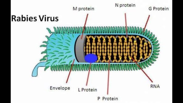 what is the rabies virus quora
