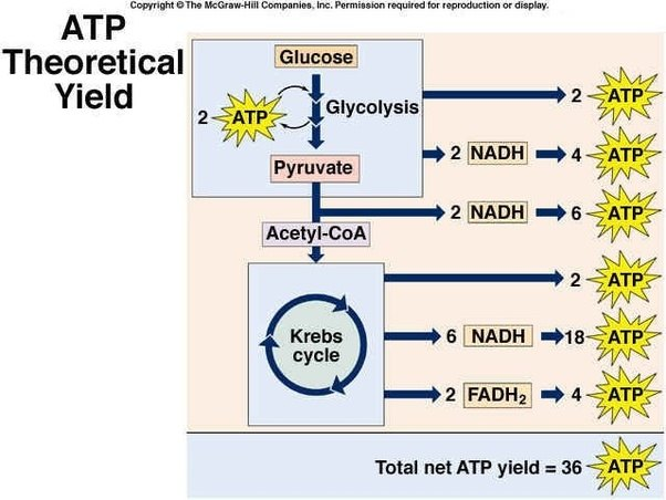 How is 36 atp produced in cellular respiration quora glycolysis and the krebs cycle yields more atp via the etc electron transport chain which is basically like a water mill in which atp synthase gets ccuart Image collections