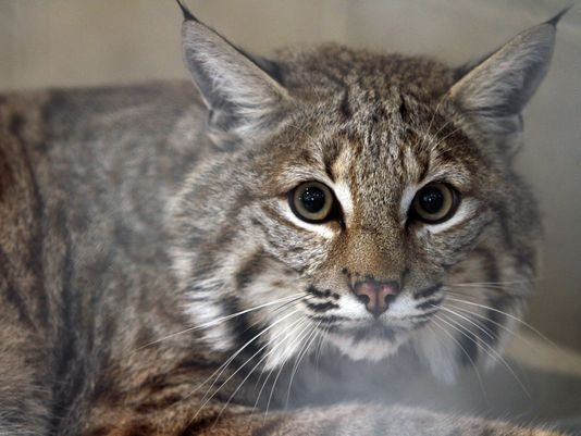 The Highly Debated Bobcat Maine Hybrid