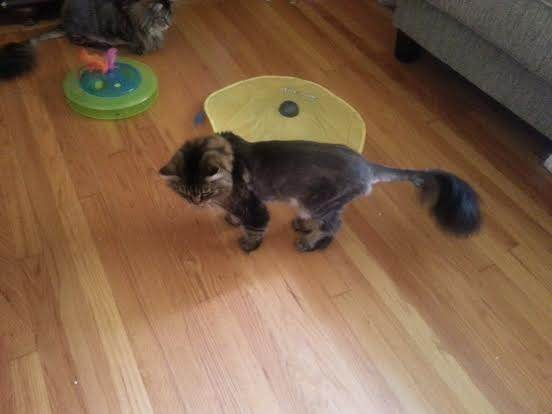 How Long Does It Take For A Cats Hair To Grow Back Quora