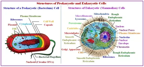 How different is a cell from a single cell organism to cell of a prokaryotic cells do not have cellular organelles such as mitochondria and and chloroplasts they also do not have a nucleus separating their genetic ccuart Images