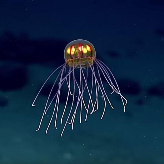 Which Species Live At The Bottom Of The Mariana Trench Quora