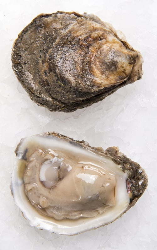 are raw oysters alive when we eat them quora