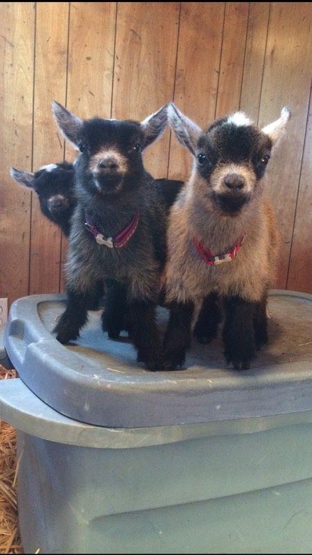 R Goats Good Pets Why do goats ma...