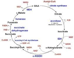 If TCA cycle citrate is produced when oxaloacetate ...  If TCA cycle ci...