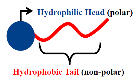 What are hydrophobic tails? - Quora