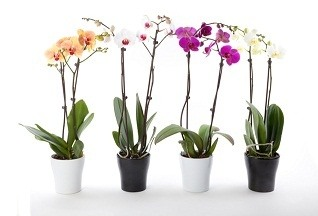 temporary color and fragrant just bring in till out of bloom - Flowering Indoor House Plants