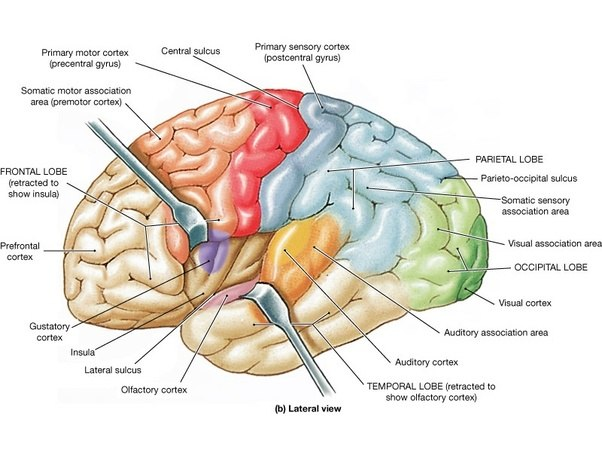 What are the 4 lobes of the cortex quora frontal lobe has many functions but primarily motor movement controlled by the primary motor cortex and planning prefrontal cortex ccuart Gallery