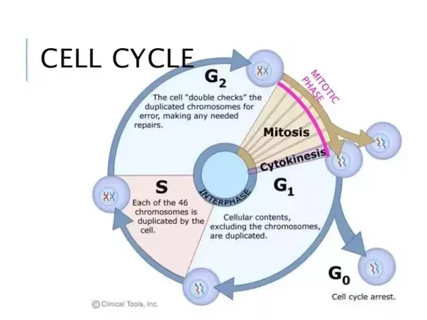 In What Phase Of The Cell Cycle Do Mitosis And Cytokinesis Wiring Diagram