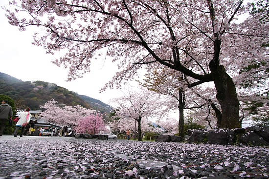 What Is The Symbolism Of Cherry Blossoms Quora